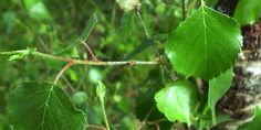 Vidoeiro - Betula alba