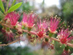 Bottle Brush Flower via BHG