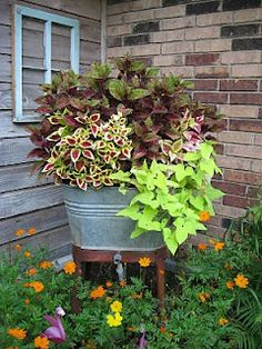 Pretty Coleus of different colors  and Chartreuse Potato Vines planted in the Old Washtub make a beautiful container garden placed in the flower beds. I Love The Old Washtubs!!
