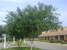 Image result for large drake elm tree