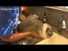 How to Clean Muddy Cat Paws Quickly - ねこ - ラグドール - Floppycats - YouTube