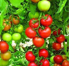 """Sfaturi utile pentru o grădină """"sănătoasă"""" și îngrijită! - Perfect Ask Vegetables, Food, Essen, Vegetable Recipes, Meals, Yemek, Veggies, Eten"""