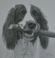 Commission - Springer Spaniel 'Austin' by Captured-In-Pencil on DeviantArt Dog Pencil Drawing, Pencil Drawings Of Animals, Animal Sketches, Chien Springer, Springer Spaniel Puppies, Cocker Spaniel, Loki, Dog Paintings, Animal Heads