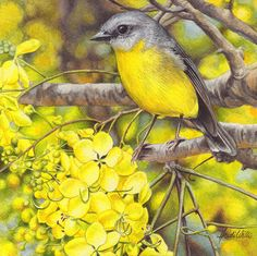 Eastern Yellow Robin and Cassia Miniature, Heidi Willis
