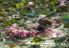 Clean lotus  (Smile of Thailand) - null