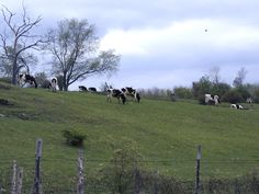 only problem with milk cows is you have to milk them everyday.  a lot of milk in that field.