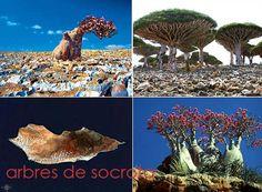 arbres-de-socotra
