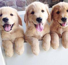 Golden Pups