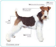 "Fox Terrier. They missed off -""Personality full of fun and attitude"""