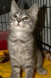 Mandy is an adoptable Domestic Short Hair Cat in Rome, NY. Hi, my name is Mandy! I'm a very cute 3 1/2 month old gray tiger kitten. I am active and playful and curious about everything. I'm here at th...