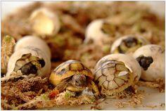 Schlüpfende Schildkröten