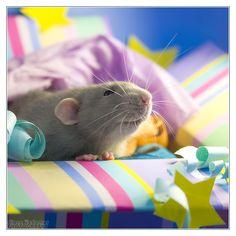 Fancy rat by DianePhotos.deviantart.com on @deviantART