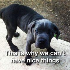 Our cane corso  pup