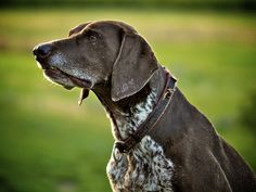 German Short -haired Pointer