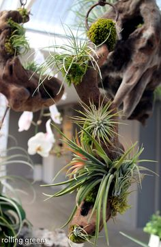 Air plant arrangements create the ultimate statement piece | Rolling Greens
