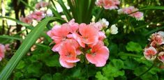 How to Grow Geraniums Over the Winter | Today's Homeowner
