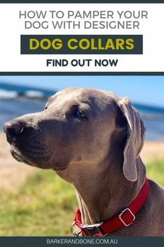 Pamper your dog with Designer Dog Collars Tiny Dog Breeds, Dog Breeds Little, Dog Collar Bandana, Dog Collar Tags, Big Dog Toys, Dog Grooming Scissors, Homemade Dog Toys, Dog Organization, Designer Dog Collars