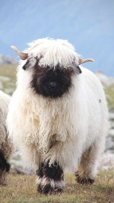 mountain sheep ✿⊱╮