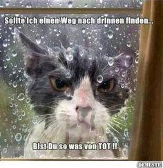 Funny grumpy cat in the rain Crazy Cat Lady, Crazy Cats, Cat Fails, Animal Fails, Angry Cat, Angry Birds, Photo Chat, Funny Animal Pictures, Funny Animals With Captions