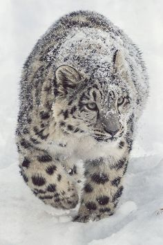 What's cuter than cute animals? Why cute animals covered in snow of course! Pretty Cats, Beautiful Cats, Animals Beautiful, Beautiful Pictures, Serval, Caracal Cat, Nature Animals, Animals And Pets, Cute Animals