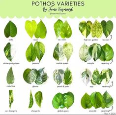 Inside Plants, Cool Plants, Air Plants, Indoor Plants, House Plant Care, House Plants, Plante Pothos, Trees To Plant, Plant Leaves