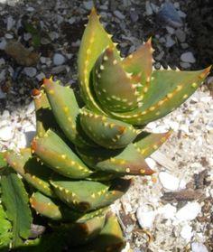 Photos of South African Plants - Category: Aloe - Image: Aloe perfoliata