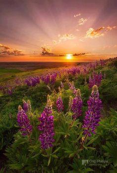 Palouse Lupine Rays, Washington State