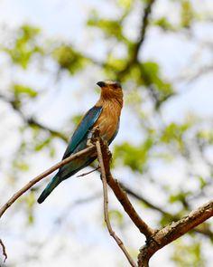 A colourful bird at Bandhavgarh National Park in Madhya Pradesh