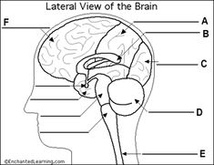 Fill in the blank brain diagram brain pinterest brain diagram interactive quiz over the parts of the brain including the lobes the cerebellum and brain stem useful for studying the brain ccuart Image collections