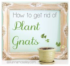 How to get rid of Gnats in the House - Ask Anna