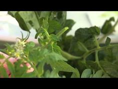 How to Pinch, Prune, and Harvest Tomatoes in Your Tower Garden. Do have one? visit: www.cstolle.towergarden.com