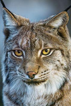 What a pretty lynx!