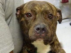 SAFE 6/27/13 Brooklyn RONNY A0968693  FEMALE, BR BRINDLE,PIT BULL MIX 1 yr Ronny is only 12 months old and arrived at the SI Center as a stray. Although she was nervous in the shelter and did not like being crated, Ronny relaxed enough to allow her true personality to shine when she was out of her kennel. Ronny is now sick and was sent to Brooklyn which not only puts her at great risk; but, will terrify her. PLS share her today for a foster/adopter B/C TOMORROW WILL BE TOO LATE