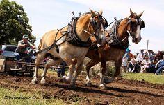 Big Horses, Work Horses, Pretty Horses, Horse Love, Show Horses, Beautiful Horses, Farm Animals, Animals And Pets, Rodeo Events