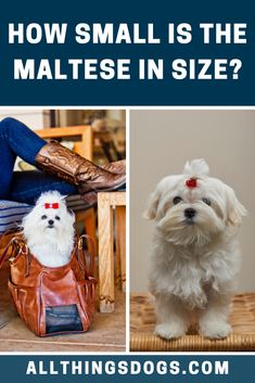 The Maltese size can be classified as small dogs, weighing under seven pounds, with most weighing between four and six pounds. Both sexes stand between 8 to 10 inches tall. Read on to learn more. Small Breed, Small Dogs, Teacup Dog Breeds, Poodle Mix Puppies, Puppy Cut, Types Of Coats, Companion Dog, Cute Dogs Breeds, Purebred Dogs
