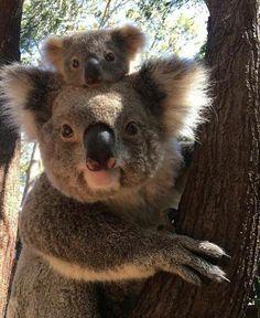 Tarni the Koala and his mum – Cory - Baby Animals Cute Baby Animals, Animals And Pets, Funny Animals, Panda Teddy, Koala Baby, Cute Koala Bear, Funny Koala, Koala Meme, Australian Animals