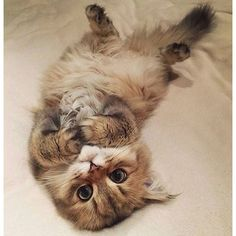 please follow us, like and post feedback if this kitty is lovable:) #cute #kitten #cat #kittenspuppiesdaily #adorable