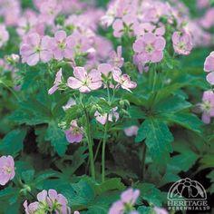 Plant Profile for Geranium maculatum 'Chatto' - Cranesbill Geranium Perennial