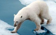 северный медведь - Поиск в Google