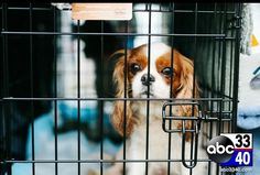 ABC Birmingham: Local group stepping up to save and fine homes for Cavalier King Charles Spaniels King Charles Cocker Spaniel, Cocker Spaniel Rescue, Cavalier Rescue, Rescue Puppies, Cavalier King Charles, Poor Dog, Puppy Mills, Pet Beds, Little Dogs