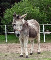 Kuvahaun tulos haulle Aasi Donkey, Goats, Horses, Animals, Animales, Animaux, Donkeys, Animal, Animais