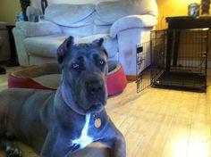 Kush needs a drink Cane Corso, Den, Pitbulls, Baby Boy, Cute, Animals, Animales, Pit Bulls, Animaux