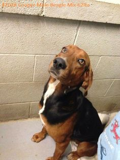 #WVIRGINIA #URGENT #GassingShelter ~ Cooper is a Hound mix in need of a loving #adopter / #rescue at the HUMANE SOCIETY of RALEIGH COUNTY 325 Gray Flats Rd Beckley WV 25802 rcpets@hotmail.com P 304-253-8921