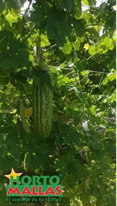 el fruto de momordica charantia o cundeamor crece rigurosamente sano en una espaldera entutorada por HORTOMALLAS. Watermelon, Food, Vegetables Garden, Fruit, Trellis, Farmer, Horticulture, Plants, Essen