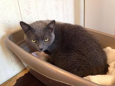 Meet Laurel, a Petfinder adoptable Domestic Short Hair Cat | Greensburg, PA | Petfinder.com is the world's largest database of adoptable pets and pet care information....