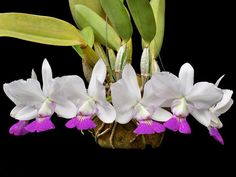 Catléia Walkeriana - Minhas Plantas