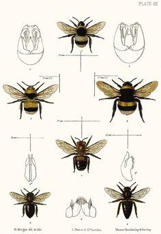 Bombus soroeensis, B. terrestris and Apis mellifera: Saunders.