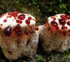 La muela del Diablo, un hongo que sangra (y que parece un pastel hecho por un niño)  El hongo de la especie Hydnellum peckii, conocida también como hongo de dientes sangrantes o la muela del Diablo, produce sus esporas en la superficie de una especie de espinas verticales que cuelgan en la superficie inferior de su esporocarpo. Por este motivo recibe su curioso nombre.