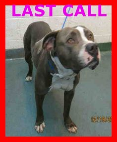 SOLDIER (A1666565) I am a male blue and white Pit Bull Terrier mix. The shelter staff think I am about 2 years old and I weigh 58 pounds. I was confiscated and I may be available for adoption. —Miami Dade County Animal Services. https://www.facebook.com/urgentdogsofmiami/photos/pb.191859757515102.-2207520000.1421186153./910029405698130/?type=3&theater