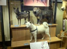 Remember Jap Dog Hachiko? Here is the a real preserved dead body of Hachiko the dog at Ueno National Museum, Japan.